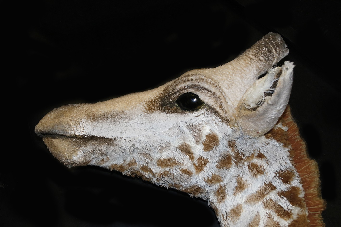 Profile; head of the giraffe