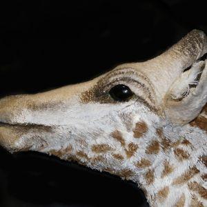 Profile; head of the giraffe